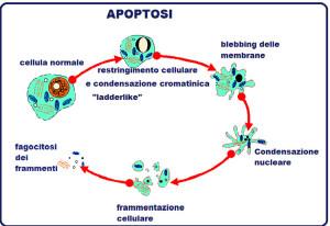 apoptosi3